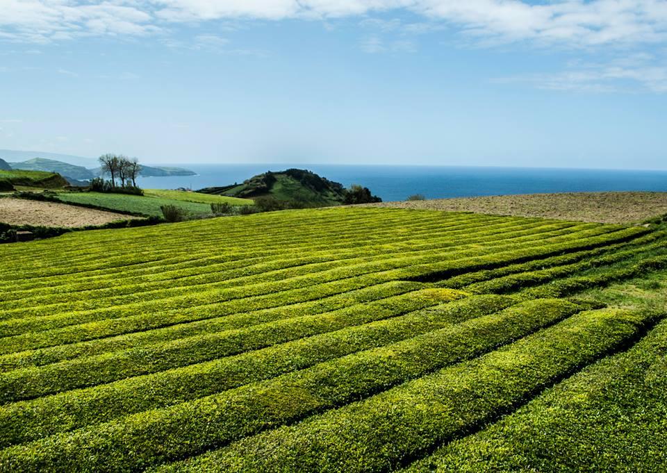 Чаената фабрика Гореана е най-старата и към момента единствената работеща, чаена плантация в Европа.