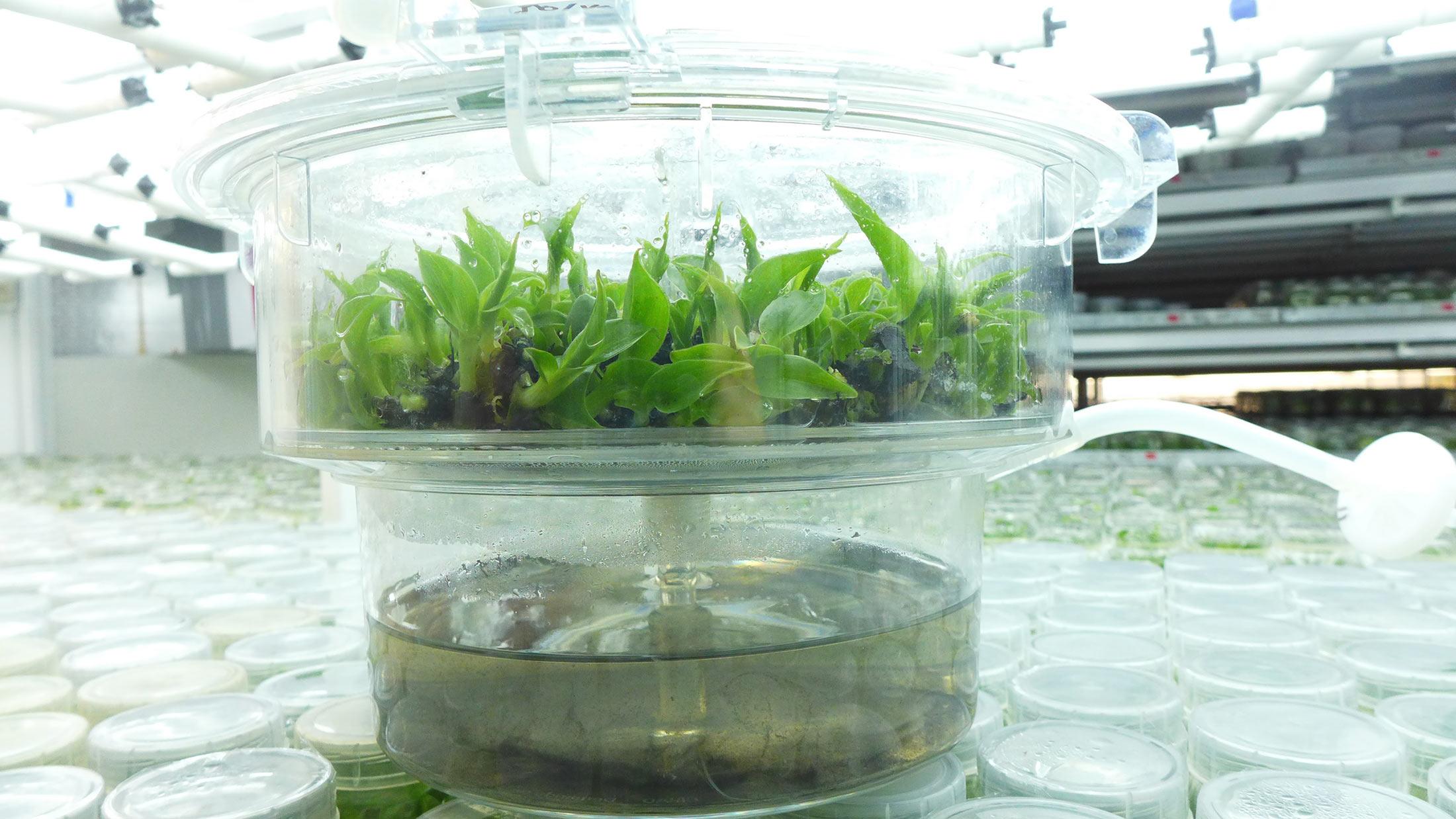 Нов хибриден сорт F1, устойчив на ръжда, е изследван в лаборатория в Никарагуа. Този сорт, Centroamericano, вече е на разположение на земеделските производители в региона.