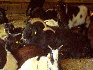 един вид коза ще ви смае с огромните си рога, върху които може би цяла Обеля ще може да простре прането си, заедно с чорапите.