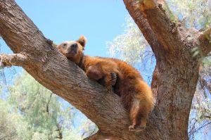 мечки гризли