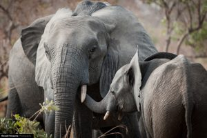 слонове