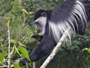 черно-бяла маймуна колобус